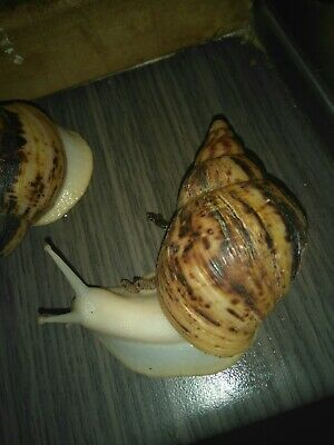 Achantina Reticulated Albino Giant African Land Snail 8 cm shell imperfect