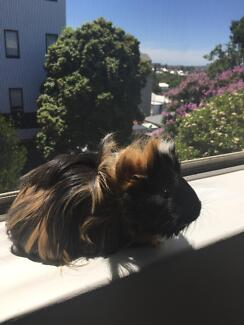 2 young female guinea pigs - Everything included!