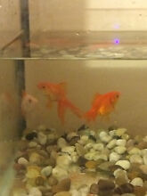 3 gold fish for 30 dollar Templestowe Lower Manningham Area Preview