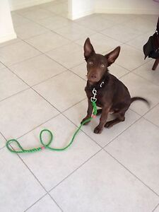 Australian made stock dog leads Coomera Gold Coast North Preview