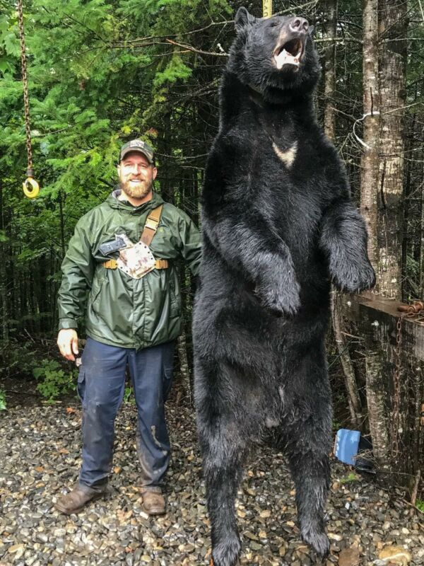 Black Bear Hunt In Maine