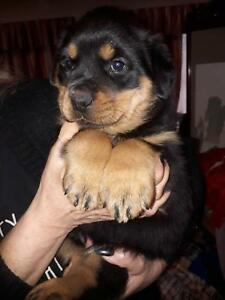 ROTTWEILER PUPPY PURE BRED MALE - VERY BIG BOY