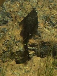 Bristlenose catfish Marsden Logan Area Preview