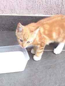 Beautiful Kitten Peakhurst Hurstville Area Preview