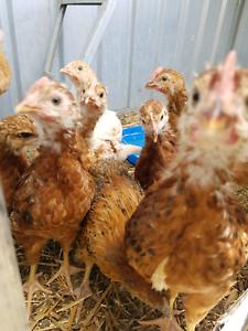 Chicks 6 week olds | Livestock | Gumtree Australia Mount Alexander