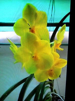 Vanda Nopporn Golden Dream Nn  Orchid Plant