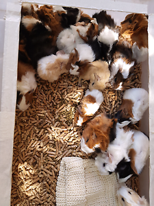 Baby guinea pigs Seabrook Hobsons Bay Area Preview