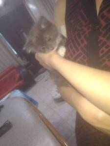 Ragdoll/Siberian kittens