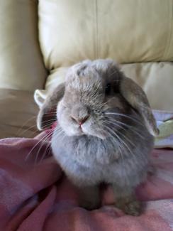 Small Lop ear Rabbit female