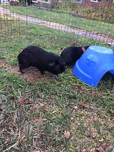 Two gorgeous Guinea pigs  & their cage or hutch Sydney City Inner Sydney Preview