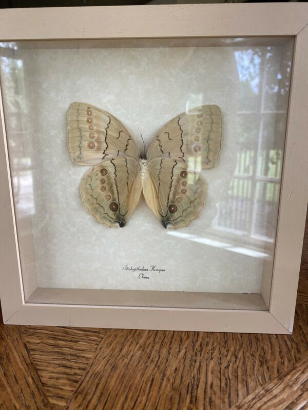 REAL FRAMED BUTTERFLY STICHOPTHALMA HOWQUA CHINA