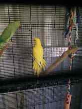 Indian ringneck for sale Koondoola Wanneroo Area Preview