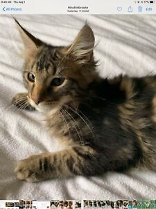 Maine Coon Breeder | Kijiji in Ontario  - Buy, Sell & Save with