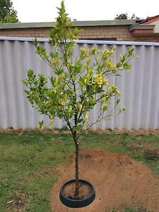 Advanced Citrus Trees. Gone Pending Pickup Tomorrow Hamilton Hill Cockburn Area Preview
