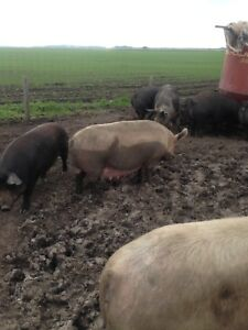 Bred Sows