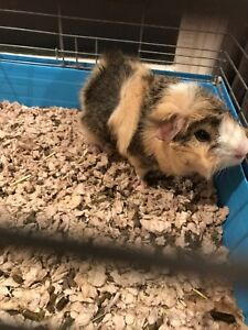 Three male guinea pigs looking for a loving home
