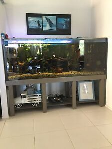Large fish tank and native Murray cod Cleveland Redland Area Preview
