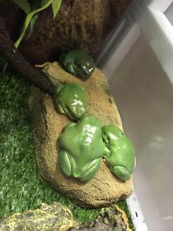 Green Tree Frog & Exo Terra Terrarium Mount Pleasant Melville Area Preview