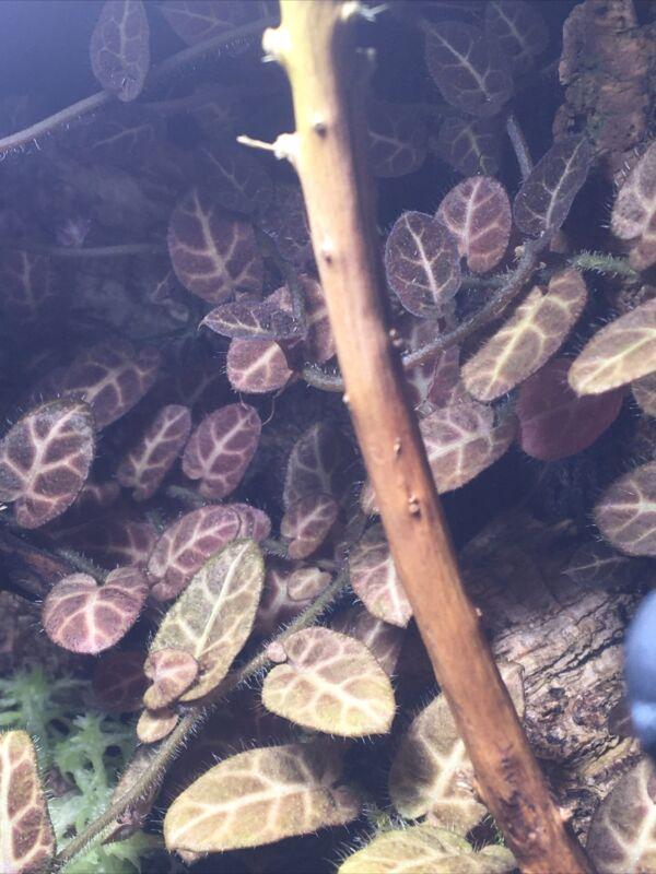 Solanum sp. Ecuador Terrarium/Vivarium plant cutting