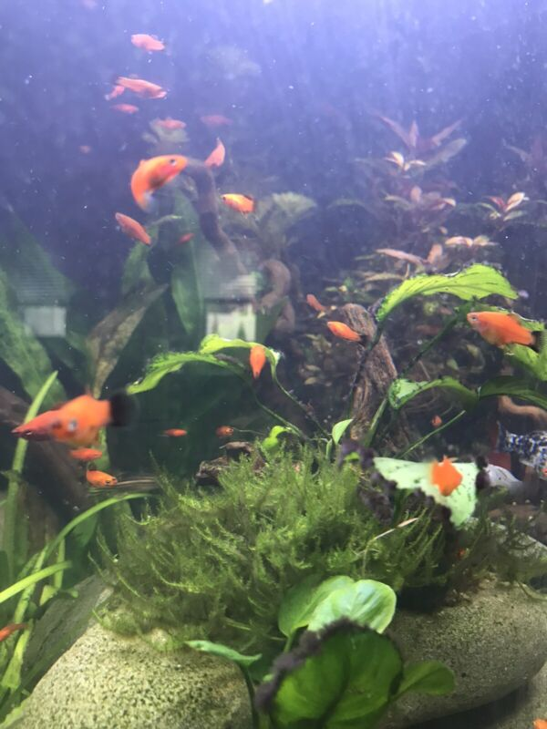 6 Pack! Healthy Assorted Swordtail Fish JUVIES unsexed Juvenile 3 To 6 Month Old