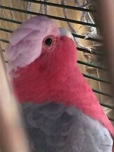 Male galah Granville Parramatta Area Preview