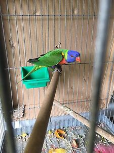Lorikeet, friendly and healthy, (with or without cage) Cabramatta West Fairfield Area Preview