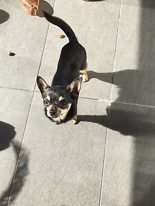 Teacup chihuahua 1 year old female black and faun Ryde Ryde Area Preview