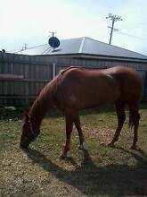 5 year old T/B mare Beaconsfield West Tamar Preview