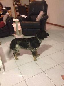 Male Border Collie x Blue heeler Greenvale Hume Area Preview