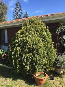 FREE Conifer Trees x3 Safety Bay Rockingham Area Preview