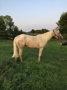 3 year old Appaloosa/Quarter horse filly