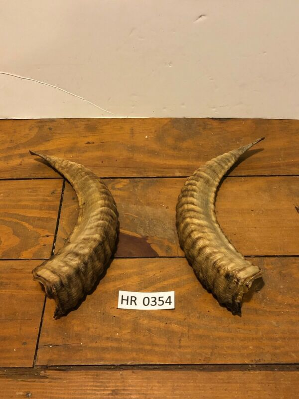 Ram Horn exotic Outdoors Hunting Wildlife Decoration texas Hill Country HR0354