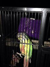 Female yellow sided green cheeked conure Stockleigh Logan Area Preview