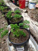 Parsley plants Bilpin Hawkesbury Area Preview