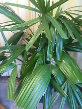 3 Large RAPHIS PALMS in large pots Ingleburn Campbelltown Area Preview