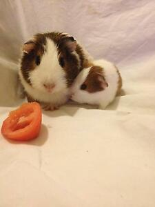 Cute mum and baby guineapig Maitland Maitland Area Preview