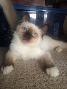 Birman kitten ( similar to ragdoll) Cessnock Cessnock Area Preview