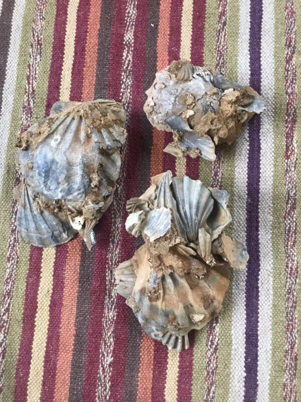 Three Fossil Shell Clusters Virginia Scallop Oyster Chesapecten Jeffersonius