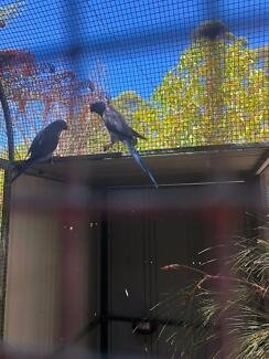 Lost blue Indian parrot erina