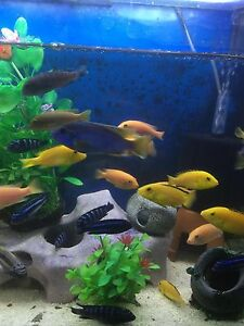 African cichlid for sale Liverpool Liverpool Area Preview