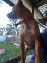 Dogs For sale need gone Corowa Area Preview