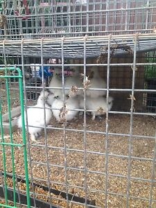 Chinese silkies Blacktown Blacktown Area Preview