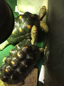 Two Red footed tortoises for sale