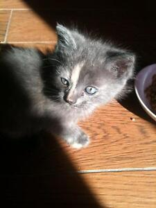 6 week old kittens half domestic half persian Airds Campbelltown Area Preview