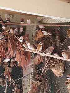 Zebra Finches for sale Liverpool Liverpool Area Preview