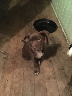 Kelpie/Blue Cattle x PUP Burpengary Caboolture Area Preview