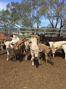 Breeders for sale Toowoomba Toowoomba City Preview