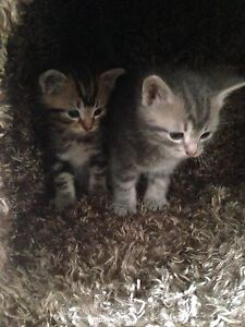 Free kittens ready to go April 15th