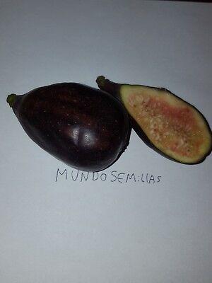 Higuera - Ficus carica - fruta comestible 500 semillas - Saatgut -...