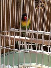 A Pair of LoveBirds... URGENT Gungahlin Gungahlin Area Preview